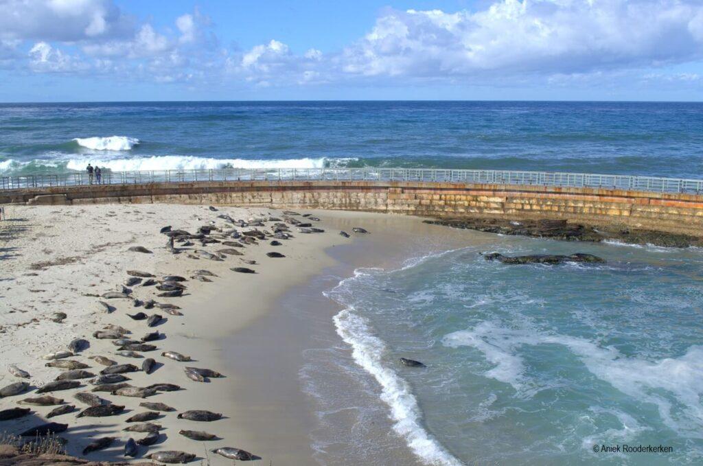 Zeehonden en zeeleeuwen in La Jolla, San Diego, Californië