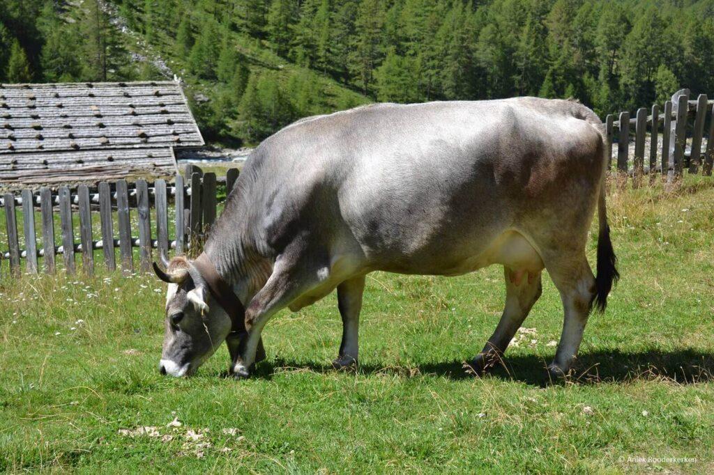 Koe bij de Eishof