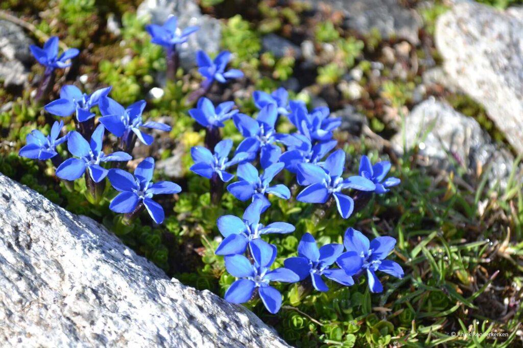 Bloemen aan de Meraner Höhenweg