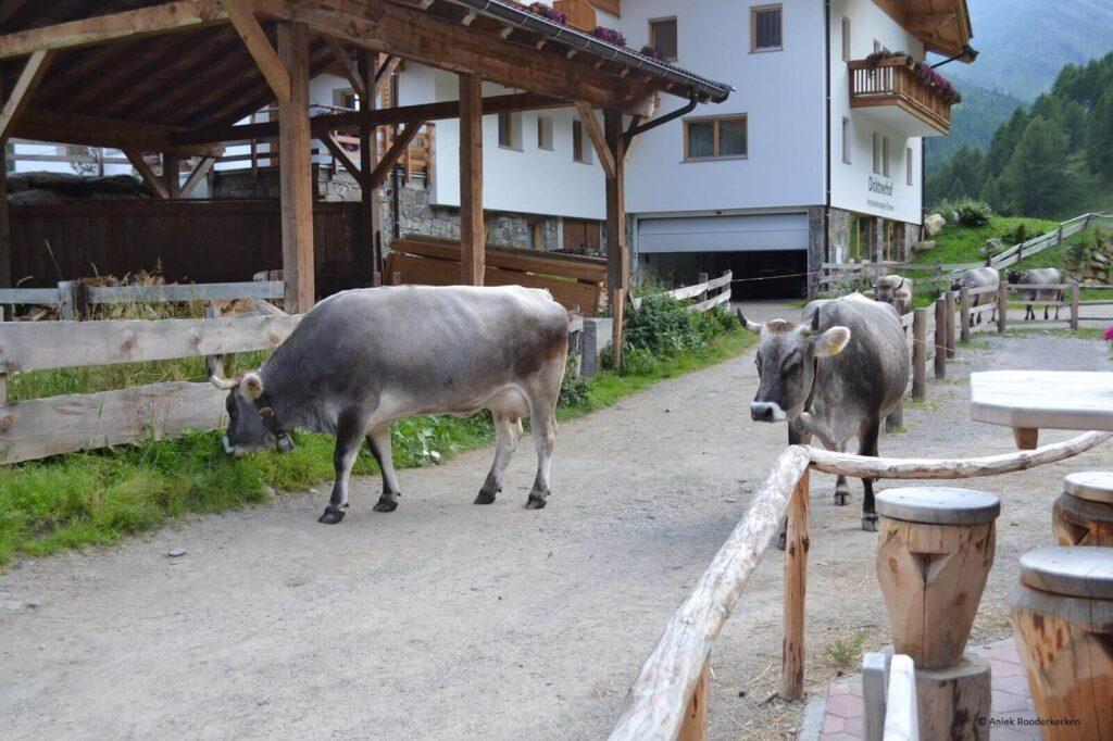 De dag ervoor: koeien in Pfelders