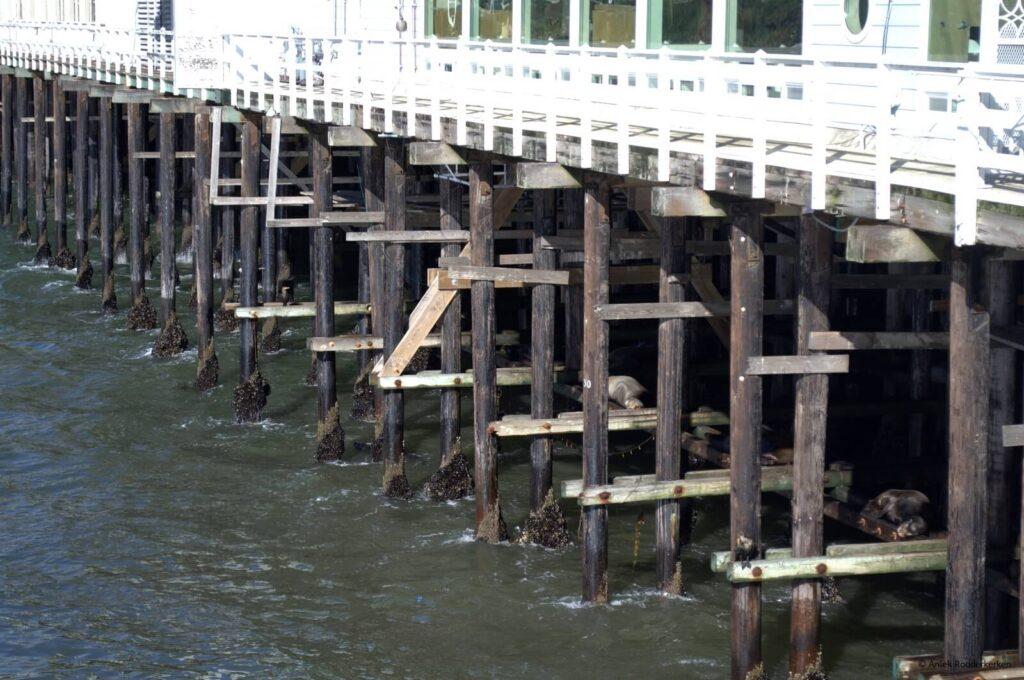 De zeeleeuwen van Santa Cruz
