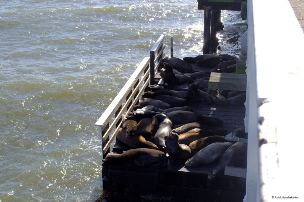 De zeeleeuwen van Santa Cruz, Californië