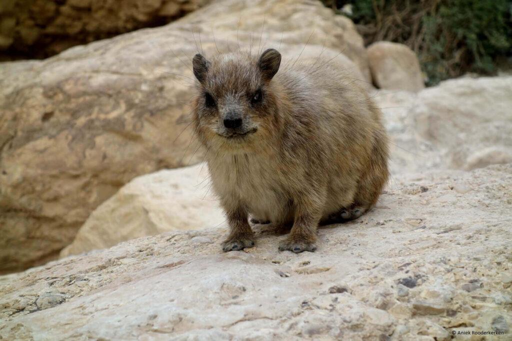 Ein Gedi natuurpark bezoeken in Israël – De rock hyrax of klipdas