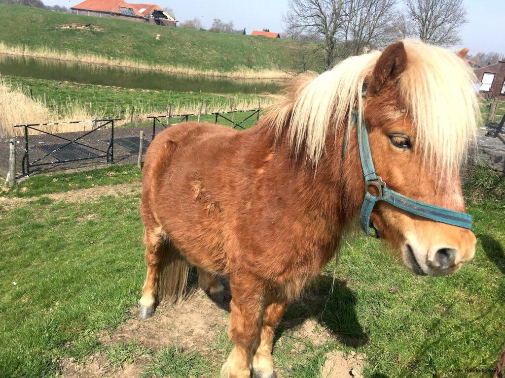 Pony bij Hedikhuizen