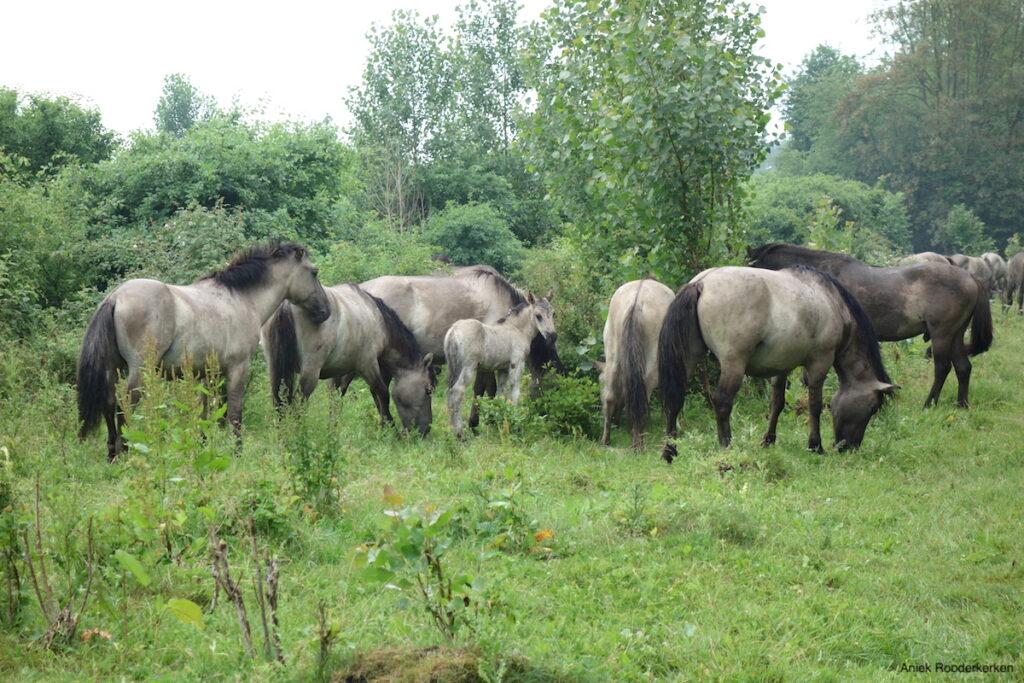 Kudde konikspaarden in de Stille Kern in het Horsterwold