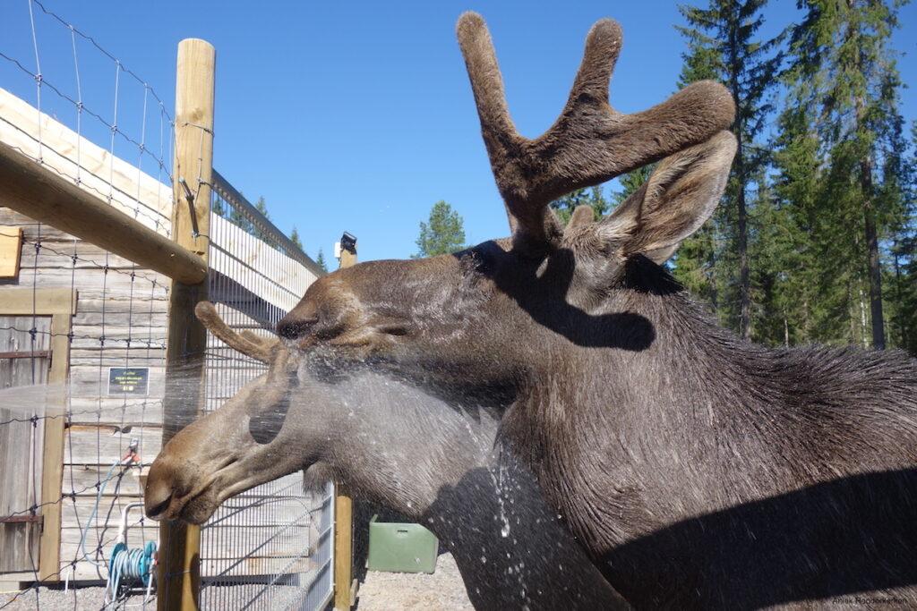 Zigge en Zebbe, de tamme elanden van Cape Wild, genieten van hun douche.