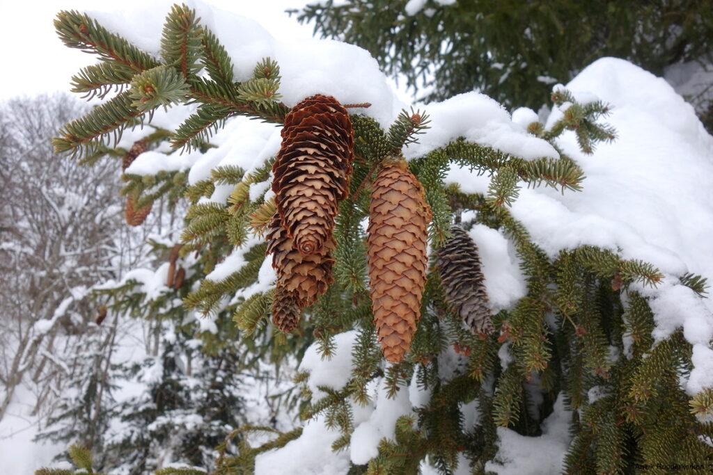 Een dennenappel bedekt onder een dun laagje sneeuw. En sneeuw, die is er volop gevallen in Oostenrijk.