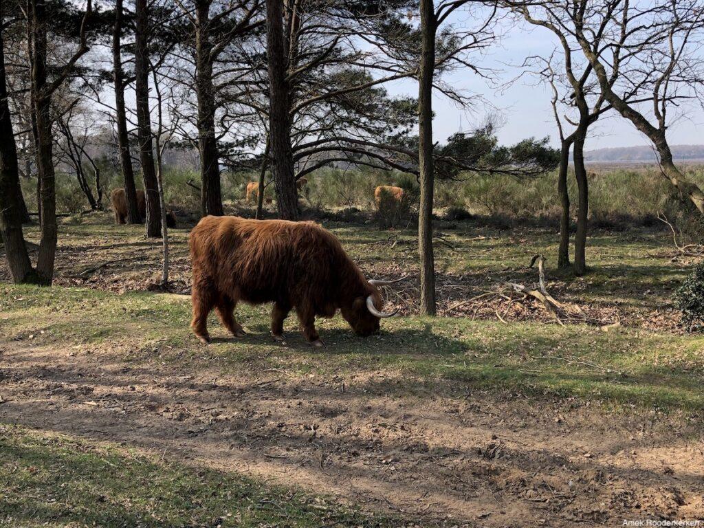 Schotse Hooglanders bij het Goois Natuurreservaat Hilversum