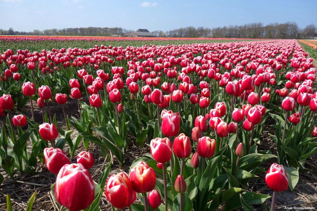 Tulpenvelden Holland boven Amsterdam