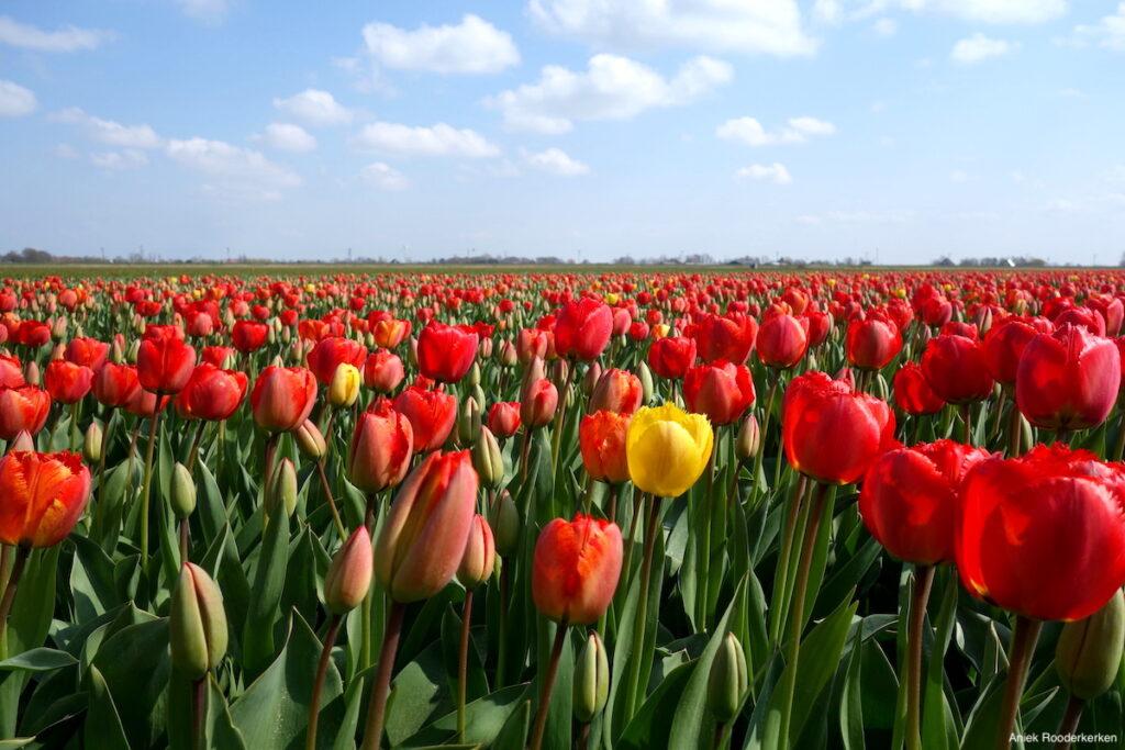 Bollenvelden in bloei, Anna Paulowna
