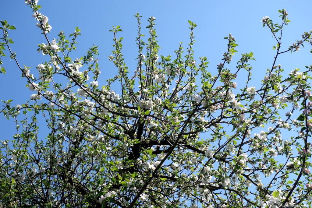 Bomen vol bloesem