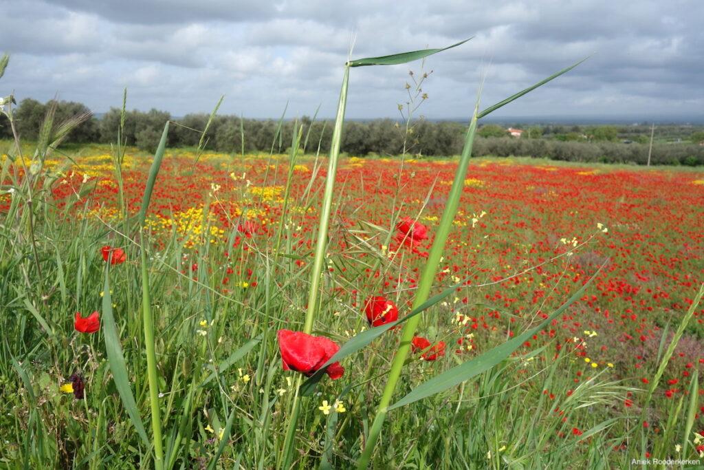 Ik geniet van de uitzichten over velden vol klaprozen in Lazio