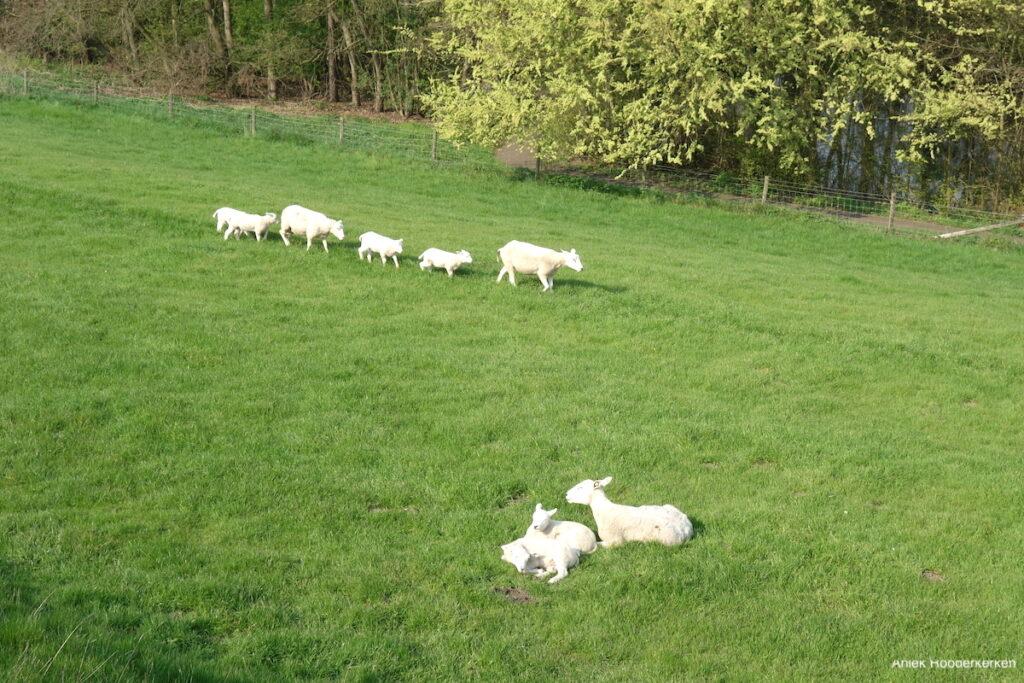 Lammetjes in Nieuwegein
