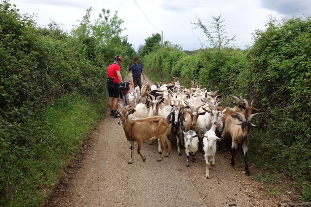 We worden tegengehouden door een kudde schapen