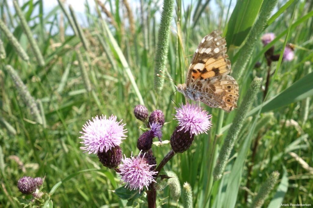 Vlinder in de Demmerikpolder