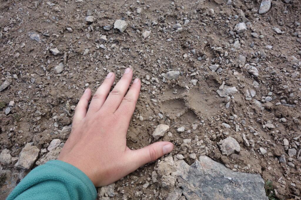 Pootafdruk van een sneeuwluipaard