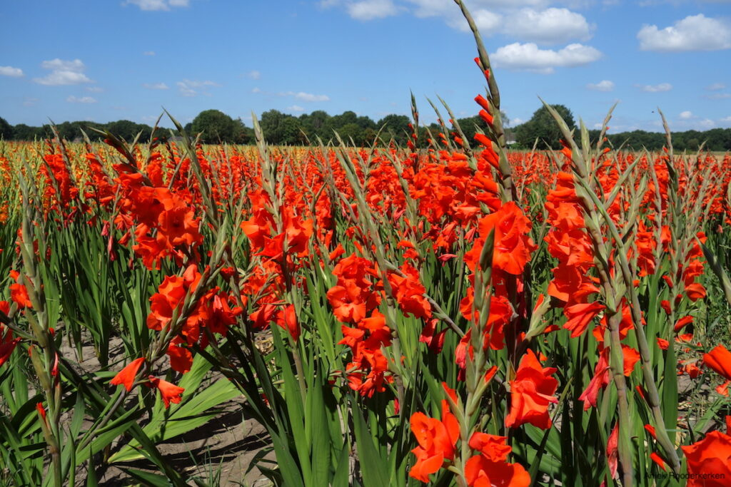 Gladiolen in Nijmegen