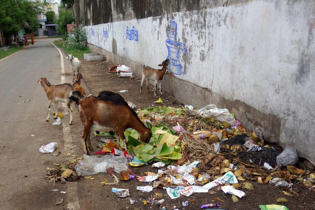 Geiten eten afval op straat in India