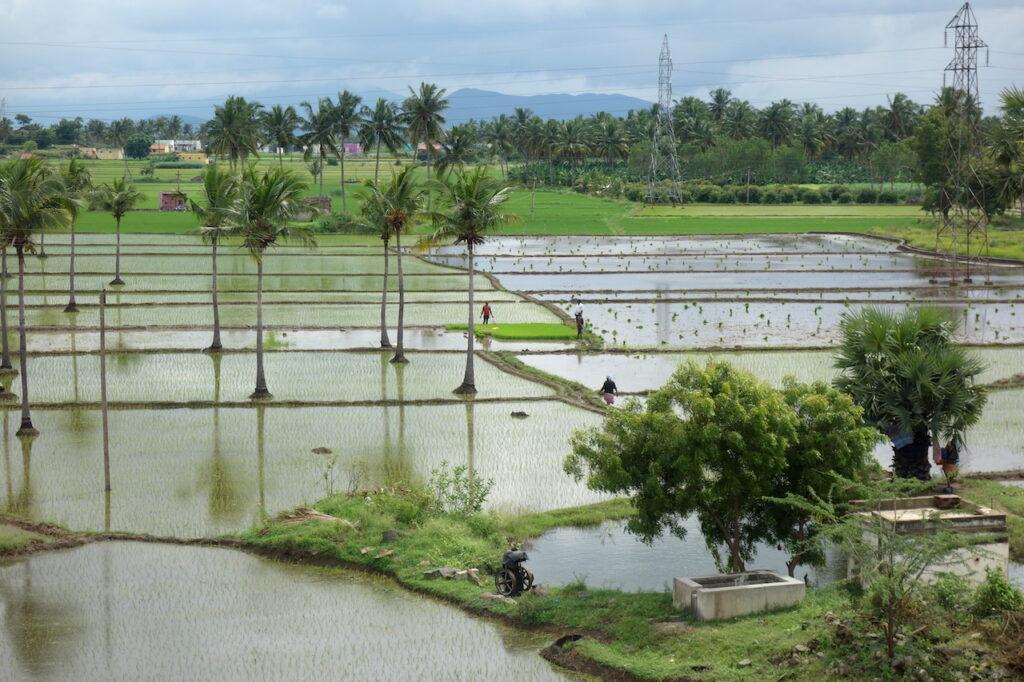 Rijstvelden in Tamil Nadu in het zuiden van India