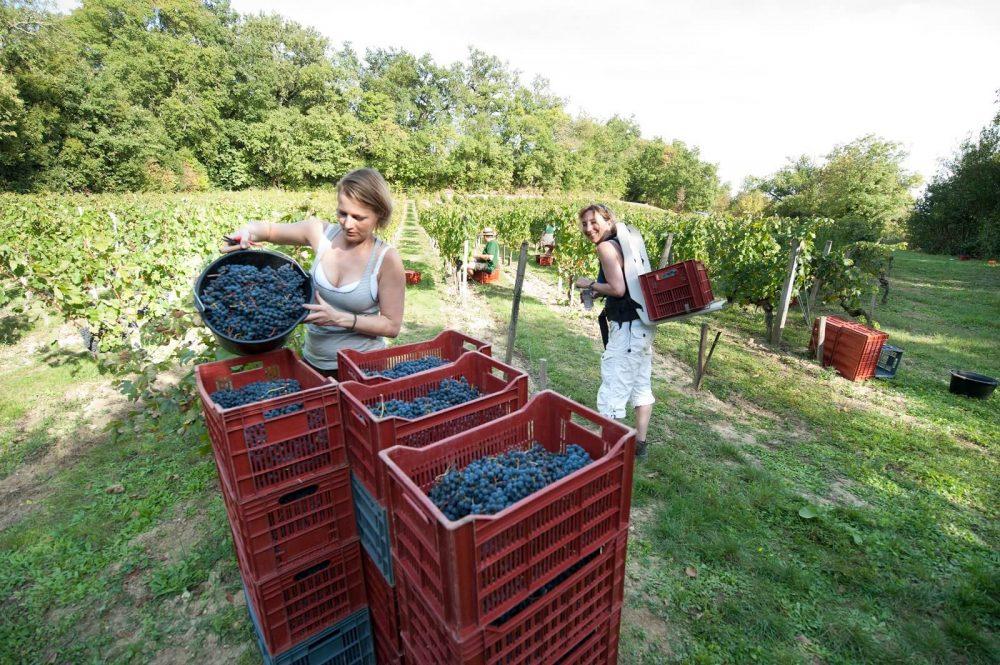"""Druivenplukken in Frankrijk. Op de achtergrond de """"hottie""""."""