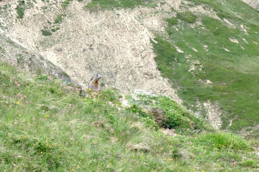 Spot de marmot! Marmot in de bergen rondom Livigno