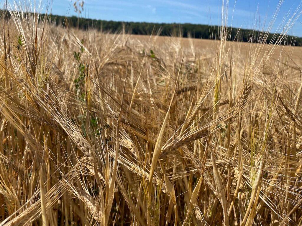 Graanvelden in Noord-Frankrijk