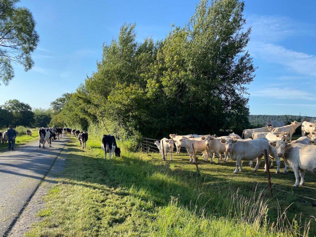 Koeien steken de weg over