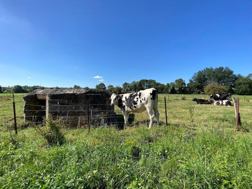 Runderen staan loom in het gras