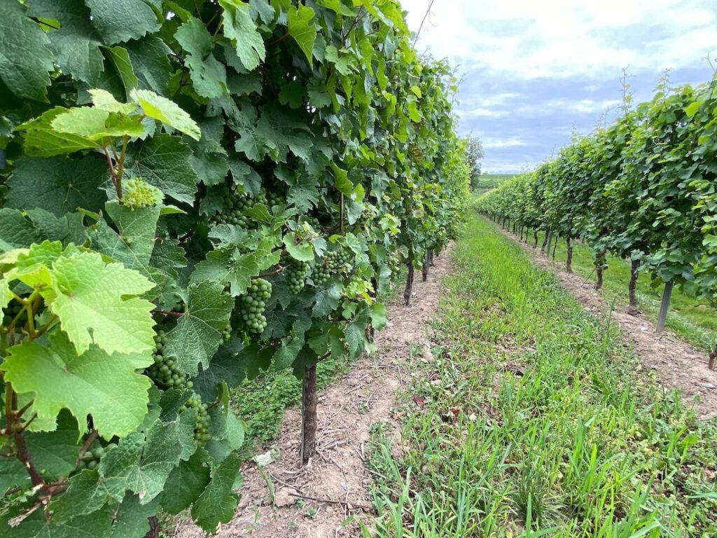 Fietsen tussen de wijngaarden van de Moezelstreek