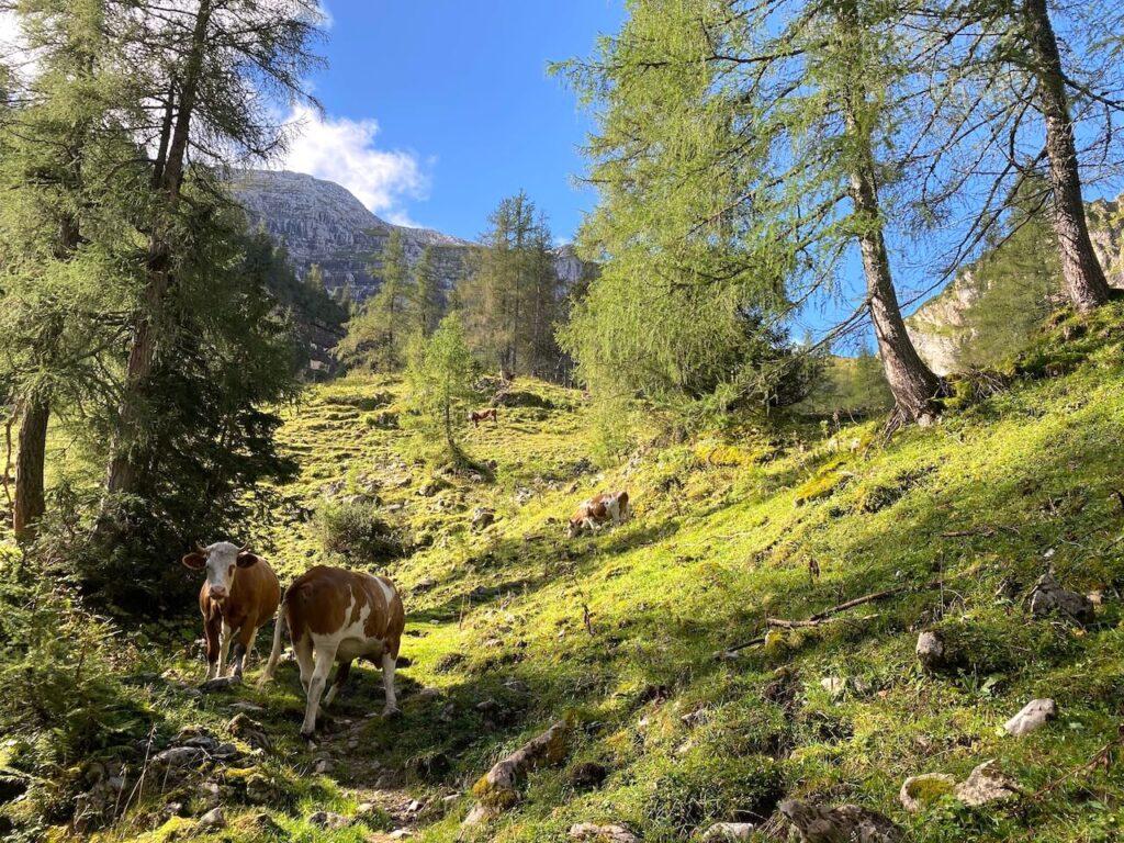 Milka-koeien op de bergweide
