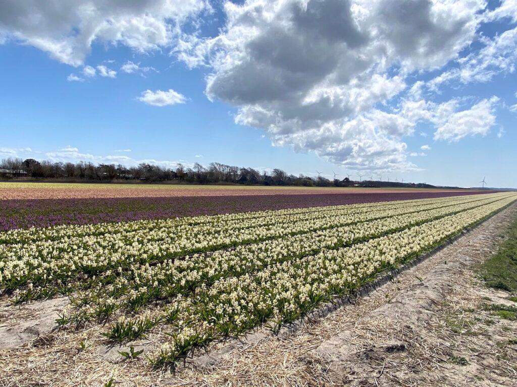 Bollenvelden in de Kop van Noord-Holland