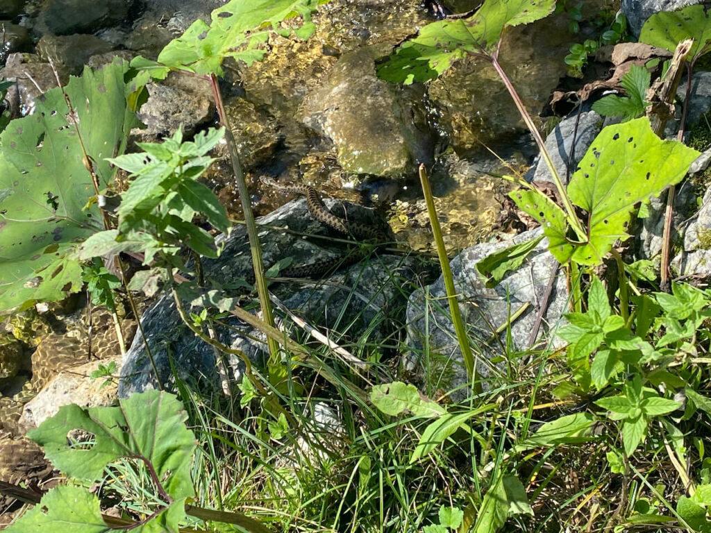 Een slang in een riviertje