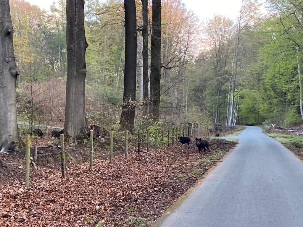 Wilde zwijnen in Nationaal Park Veluwezoom