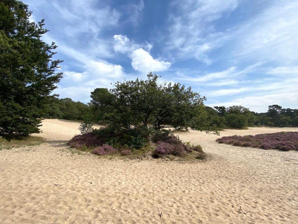 Heide op de Lange Duinen in Soesterduinen