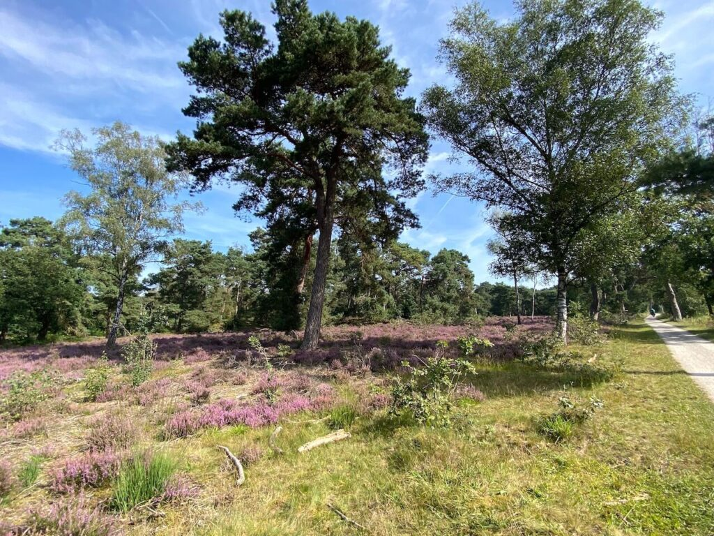 Heide op Boswachterij Austerlitz