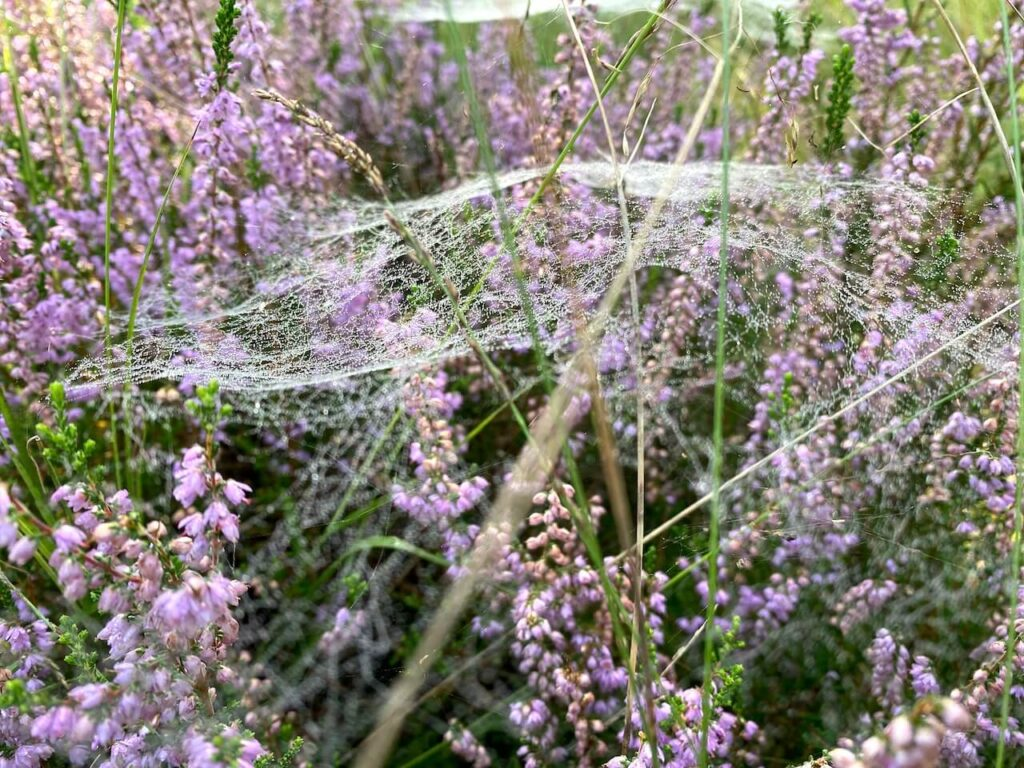 Spinnenweb op heide